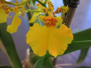 Oncidium Orchidee